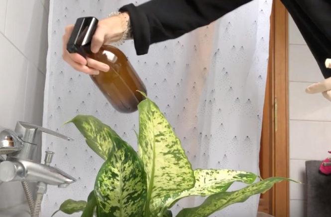 Thripse bekämpfen Neem Öl