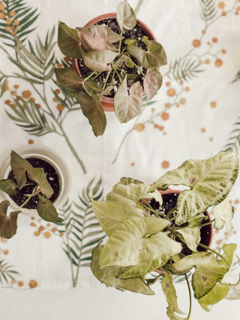Syngonium White Butterfly und Neon Robusta