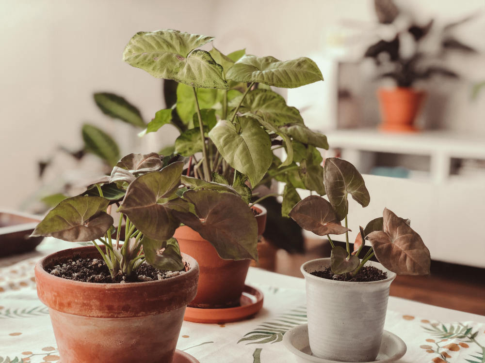 Syngonium Blumentöpfe