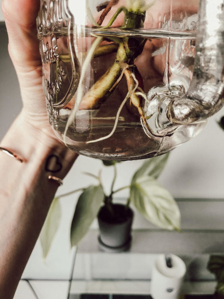 Philodendron bewurzelt